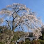 楞厳寺の桜