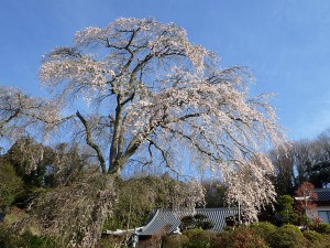 ブログ:楞厳寺の桜0409撮影 樹種は-エドヒガンで「紫金桜」と呼ばれて親しまれています。