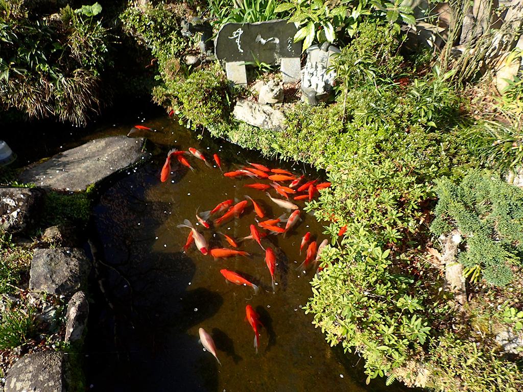 ブログ:楞厳寺境内池の金魚